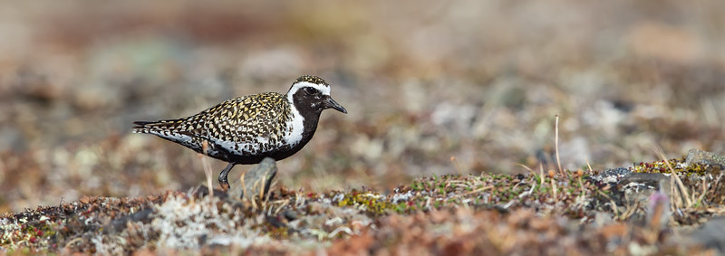 Pacific GoldenPlover