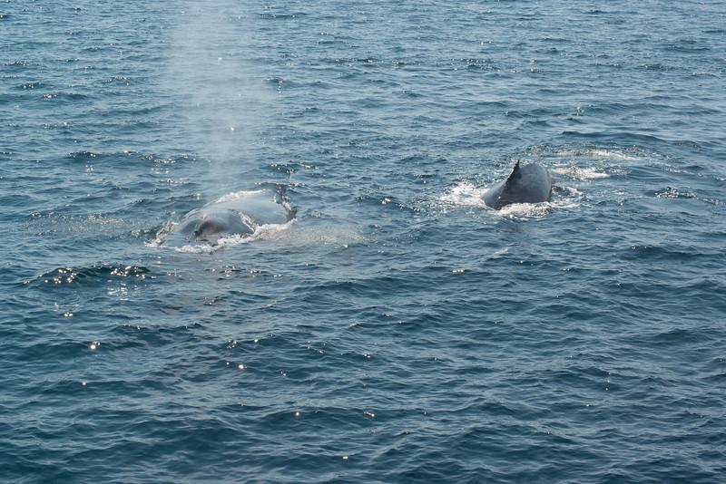 humpbacks-4132.jpg