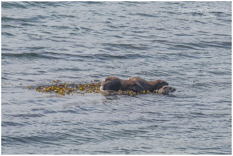 Otters, Loch Ainort
