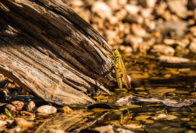 Grasshopper CB_DWL7683.jpg