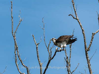 Osprey 16 April 2019