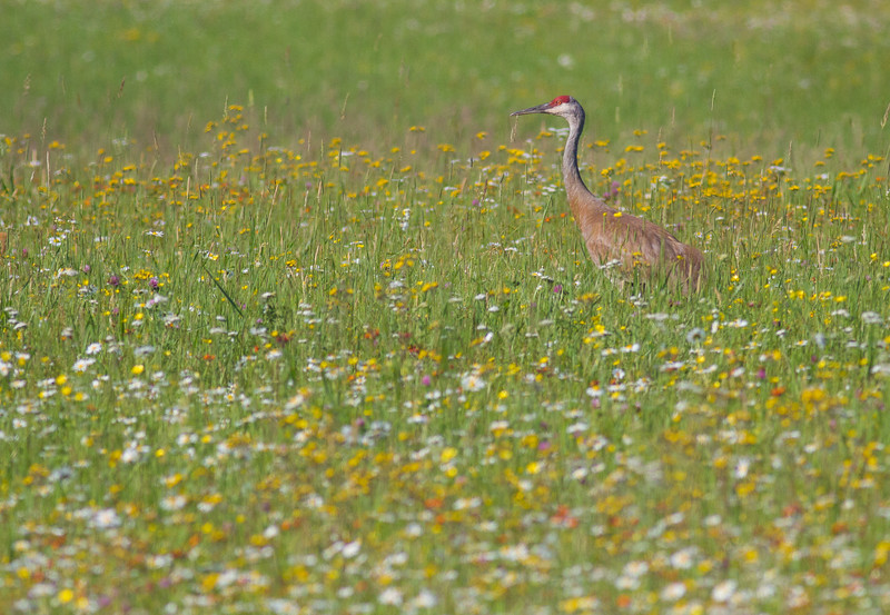 Sandhill Crane with colt in flowers Pine County MNIMG_1069.jpg