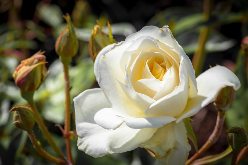 White Rose 2-1.jpg