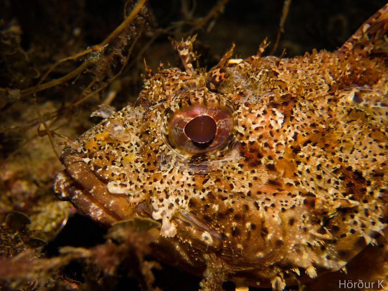 California scorpionfish