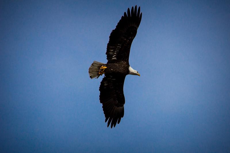 Eagle Soaring-7079.jpg