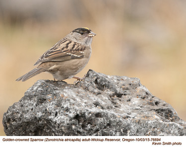 Golden-crowned Sparrow A76694.jpg