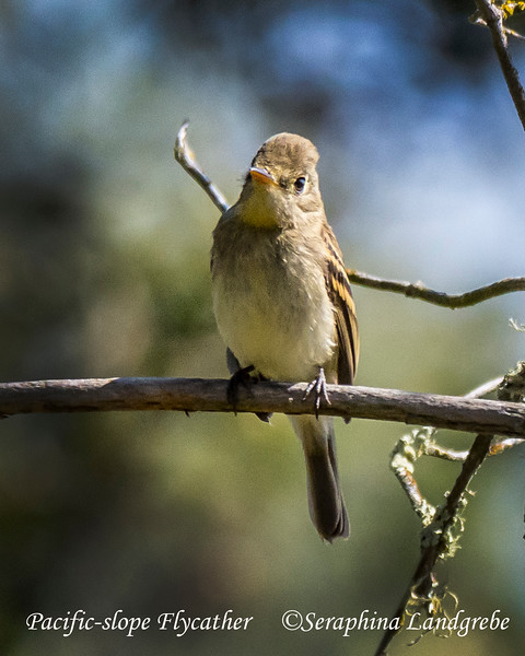 _DSC6143Pacific-slope Flycatcher.jpg