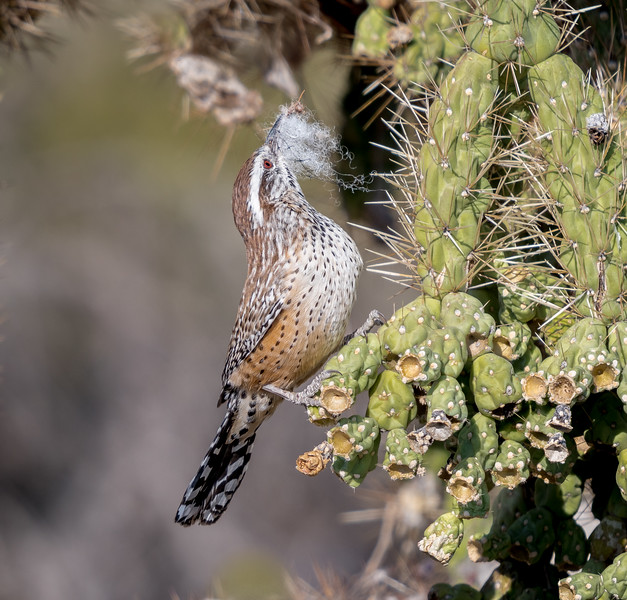 Cactus Wren With Nest Material #3