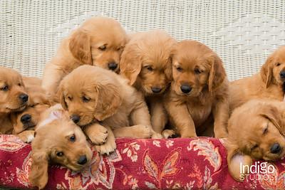 Carfi Puppies