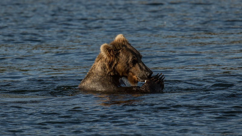 Katmai Bears-21.jpg