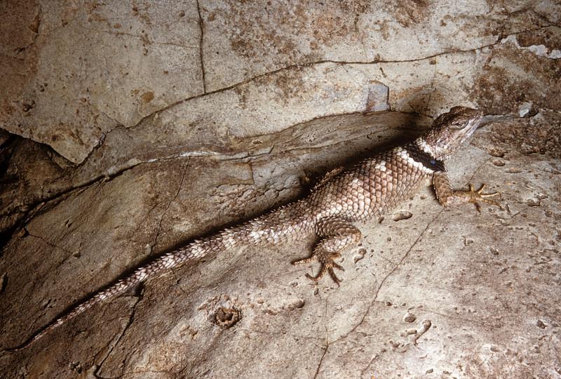 Crevice Spiny Lizard (Sceloporus poinsettii) Big Bend National Park, TX, 1958