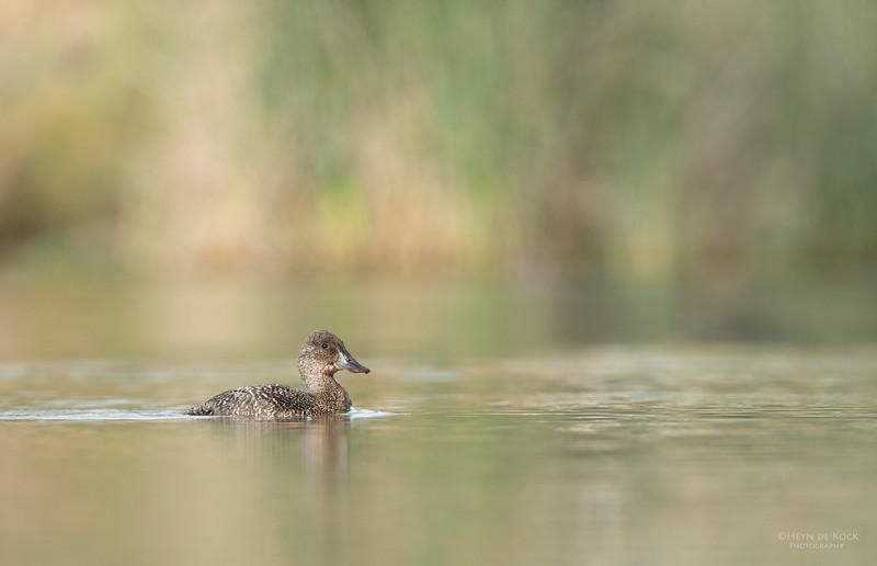 Blue-billed Duck, imm, Millpark Lakes, Melbourne, VIC, Apr 2014-6.jpg