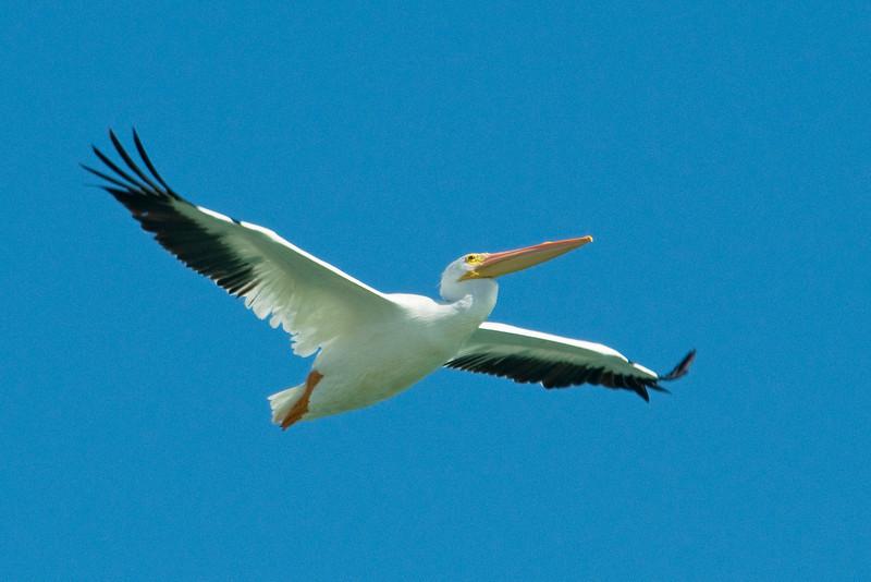 Pelican - American White - Cayo Costa State Park, FL