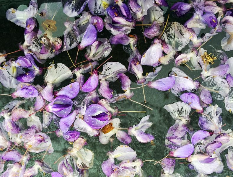 wisteria blossoms.jpg