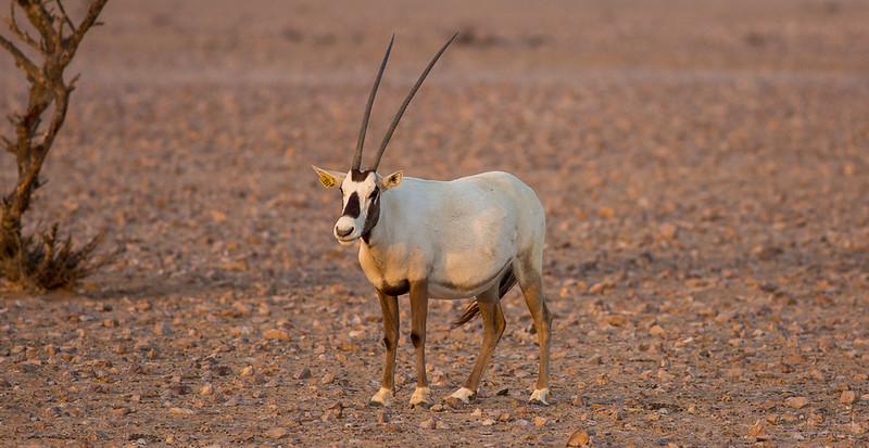 Arabian Oryx (54).jpg