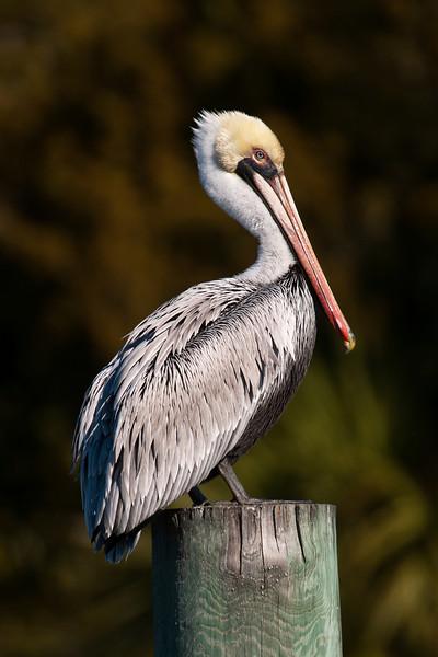 Pelican - Brown - St. Mark's NWR - FL