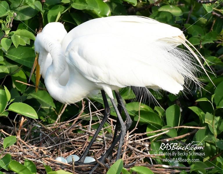 Great Egret in the Wakodahatchee Wetlands, Palm Beach
