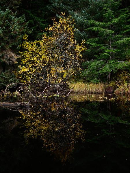 auke lake yellow tree.jpg