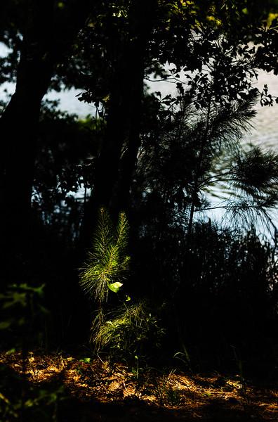 Sapling Huntsville State Forest-4212.jpg