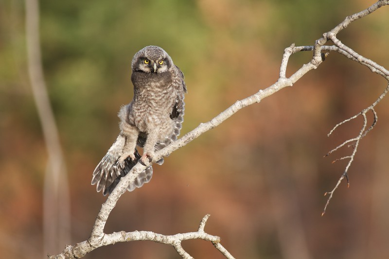 Northern Hawk Owl baby juvenile Owl Ave Sax-Zim Bog MN IMG_1167.jpg