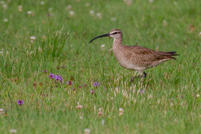 Whimbrel summering on Park Point Duluth MN -0276.jpg