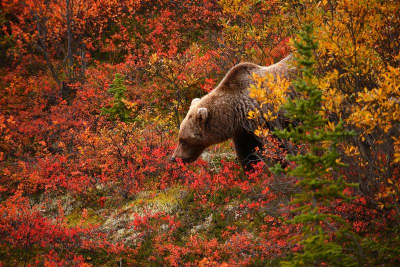 alaska bear fall