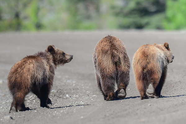 6 2013 Jun 12 Grizzly Mom & 2 Cubs*