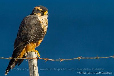 Aplomado Falcon, Halcón Perdiguero (Falco femoralis)