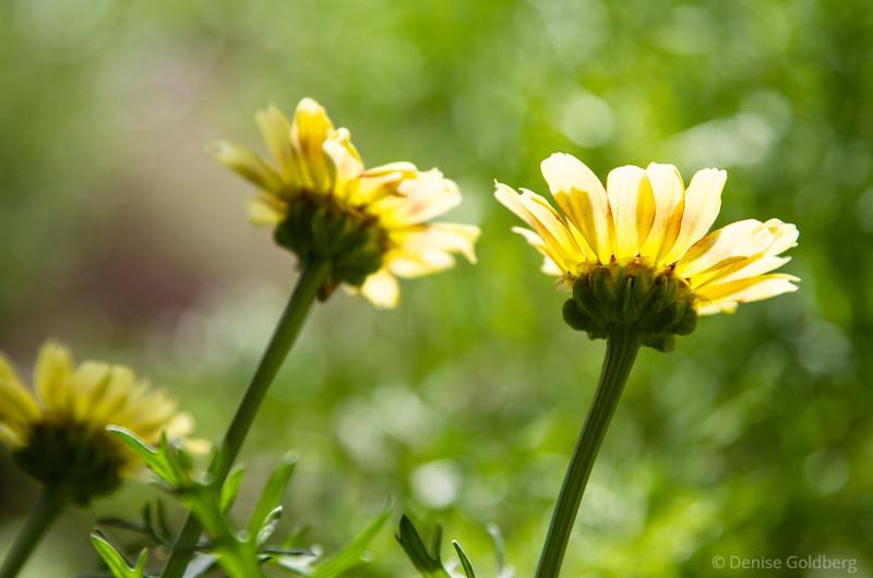 sunlit yellow petals