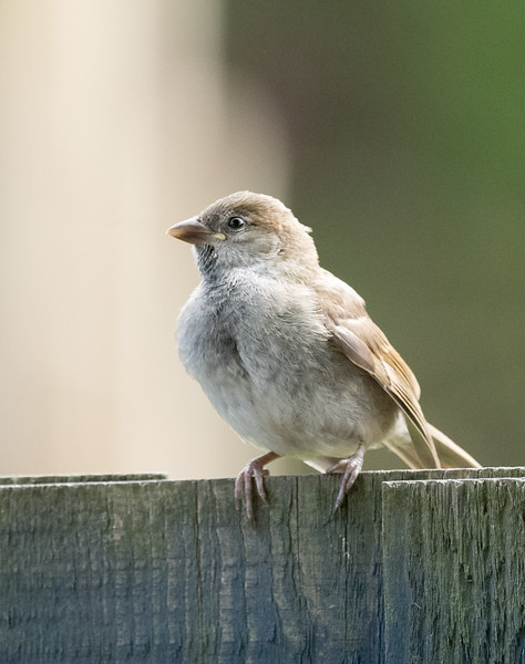 Youg Sparrow waiting for food