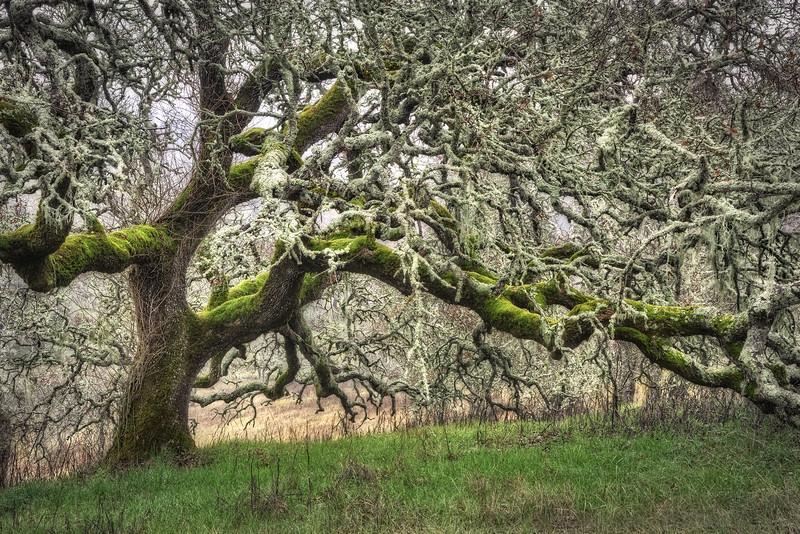 Sonoma Valley Oak, California