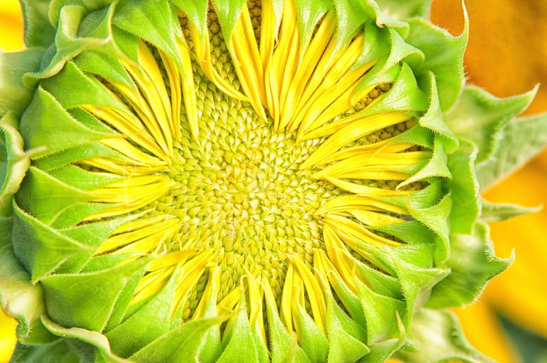 Sunflower closed.jpg