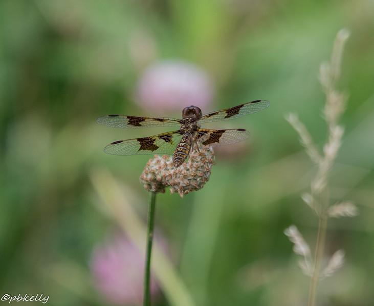 6-26-16.  Female Eastern Amberwing.