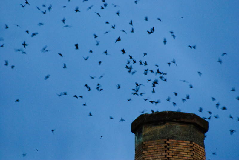 Vaux Swifts  Sept. 24, 2011 Once a year, a flock of thousands of Vaux Swifts come to visit Chapman Elementary School in Portland OR, swirling and flying into the chimney of the school nightly for a couple of weeks. Thousands of onlookers picnic and watch the swifts as they fly about.  During the peak of the swifts' annual migration from the Pacific Northwest to wintering grounds in Central America and Venezuela, an estimated 35,000 may roost together in the Chapman chimney, the largest known Vaux's swift roost in the world.