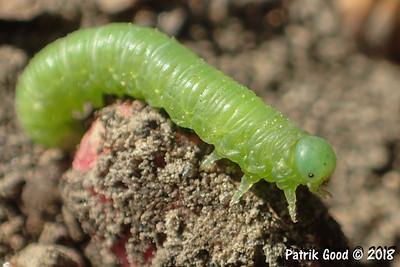 Blattwespe (Sterictiphora serotina)
