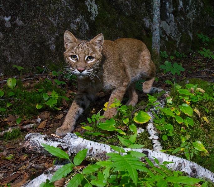 bobcat crop-4721.jpg