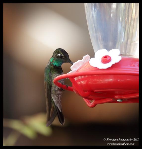 Magnificent Hummingbird at the Madera Kubo feeders, Madera Canyon, Arizona, November 2011