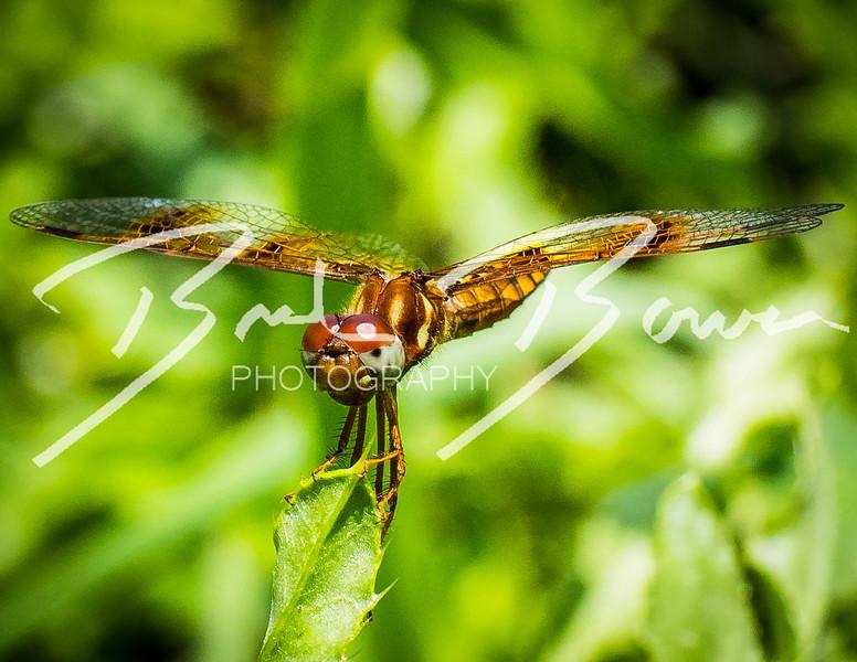 dragonfly-4.jpg