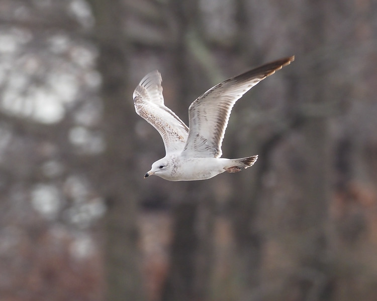 Ring-billed Gull, 1st Cycle (2CY)