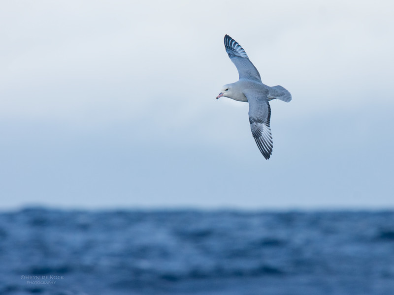 Southern Fulmar, Eaglehawk Neck, TAS, May 2016-11.jpg