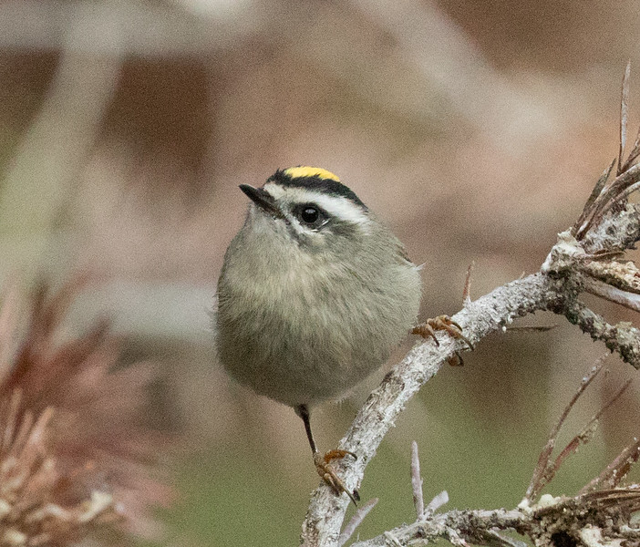 Golden-crowned Kinglet Mammoth Lakes 2017 09 03-1.CR2