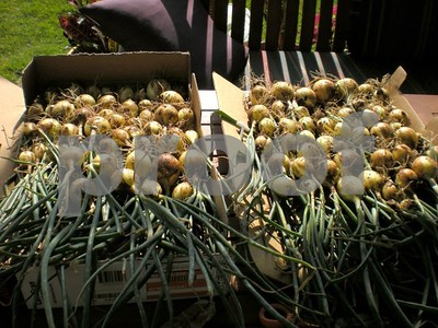 grow-your-own-onions-and-enjoy-flavor-variety