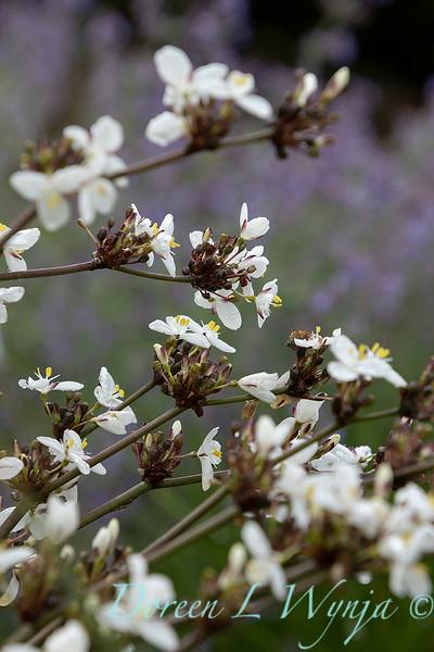 Libertia chilensis_6993.jpg