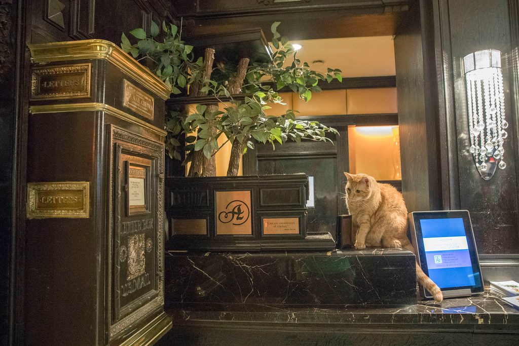 . In this Thursday, Aug. 2, 2018 photo, Hamlet VIII sits on his perch at the front desk at the Algonquin Hotel in New York. The event is a fundraiser for the Mayor\'s Alliance for NYC\'s Animals, which helps support more than 150 animal shelters and rescues in New York. (AP Photo/Mary Altaffer)