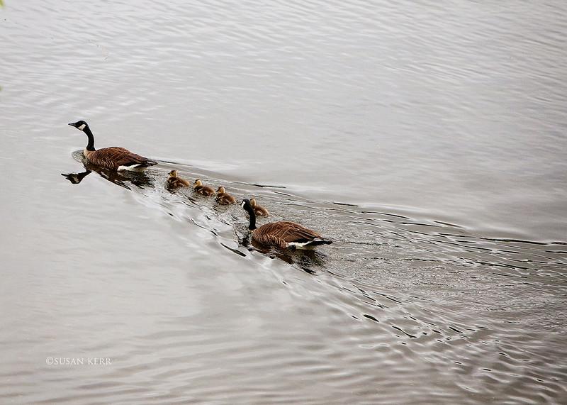 geese6496.jpg