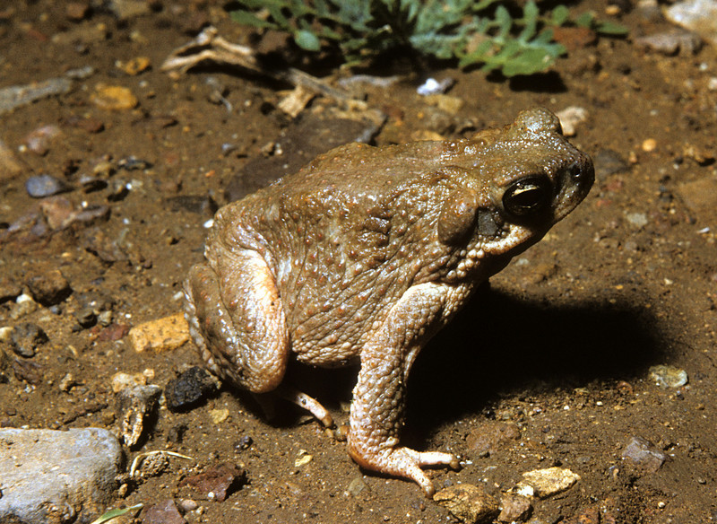 Red-spotted Toad (Bufo punctatus) Big Bend Nat. Park, TX, May 1958