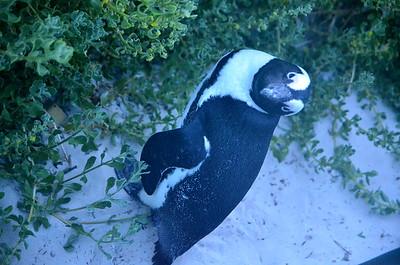 Boulder Beach   African Penguin Colony