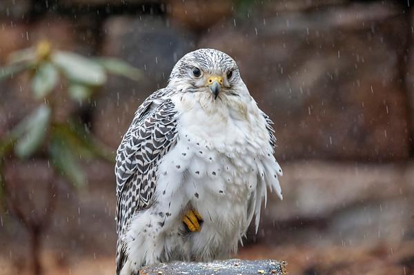 Falcon -  Gyrfalcon bird of prey