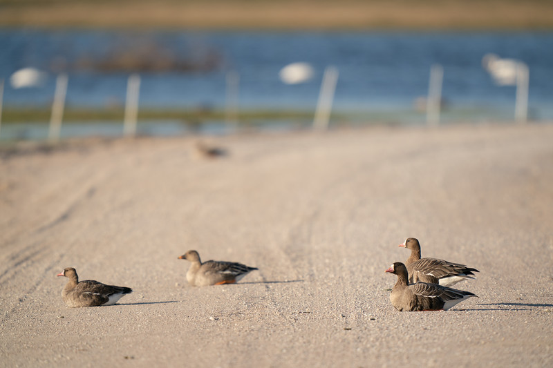 gęś białoczelna | white-fronted goose | anser albifrons + gęś tundrowa | tundra bean goose | anser serrirostris
