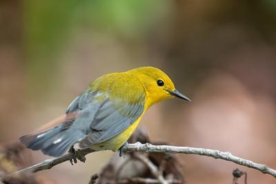 Virginia Birds